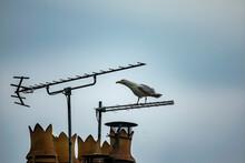 Seagull On Tv Aerial On Roof