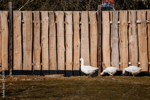 Fototapeta A flock of domestic white geese walk along the sand against a wooden fence, Rura