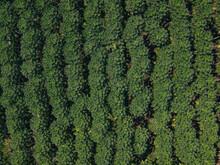Aerial Of A Papaya Plantation In Big Island, Hawaii.
