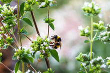 A Bumblebee Pollinating A Oregano Flower With A Blurred Background