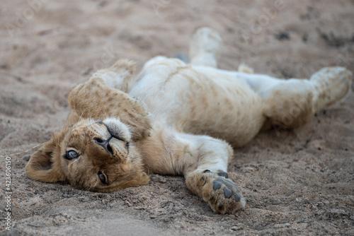 Fotografie, Obraz A Lion cub seen on a safari in South Africa