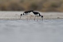 Two Black-necked Stilts Foraging With Synchronized Motions.