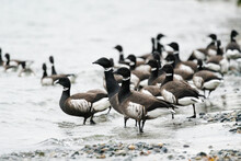 A Flock Of Brant Geese On The Rocky Shores Of Puget Sound