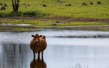 Red Cow Inside Wetland Looking At Camera