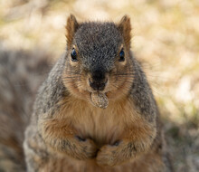 Eastern Fox Squirrel Holds A Peanut In His Mouth While Looking At You