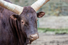Portrait Of A Watusi Cow With Large Horns Close Up