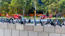 Multiple Pigeons Are Standing On A Wall With Two Red Helicopters In The Background On The Banks Of The Yarra River In Melbourne, Australia
