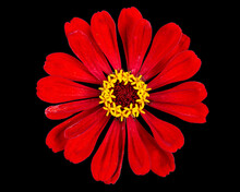 Red Flower Of Zinnia, Isolated On Black Background