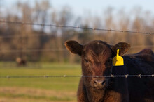 Cute Angus Calf Behind Barbed Wire