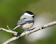 Black Capped Chickadee Bird Standing On The Tree Branch
