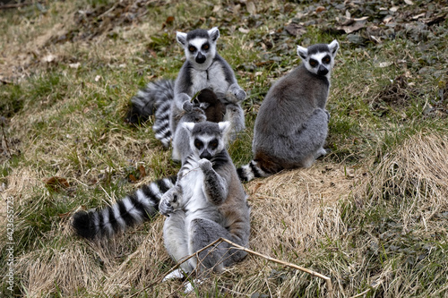 Fototapeta premium A group of Ring-tailed lemur, Lemur catta, playing on the lawn