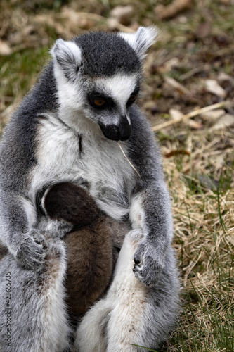 Fototapeta premium Female Ring-tailed Lemur, Ring-tailed lemur, with a small cub on its chest
