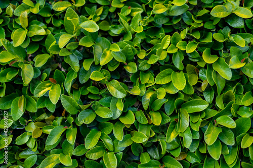 Close up of Green leaves of a bush in the park Wallpaper Mural