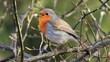Vogelö des Jahres: Rotkehlchen(Erithacus rubecula) singt