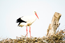 Stork In Its Nest On A Bright Morning
