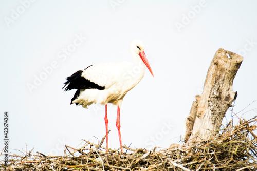 Stork in its nest on a bright morning Fototapeta