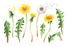Wild Medical Plant Dandelion Set, Watercolor Hand Drawn Illustration Isolated On White Background