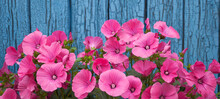 Pink Petunia, Flowers On A Blue Background, Near An Old Cracked Wall