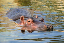 Hippo Hippopotamus Swimming In River, Detail Of Head And Back Above Water, Beautiful African Animal