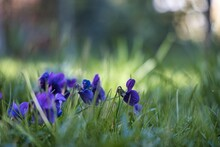 Beautiful Violets On The Blurred Background Of A Green Meadow In Spring
