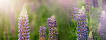Blooming Macro Lupine Flower. Lupinus Field With Pink Purple And Blue Flowers. Sunlight Shines On Plants. Gentle Warm Soft Colors, Blurred Natural Background. Summer Banner