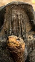 Galapagos Giant Land Saddle Back Tortoise