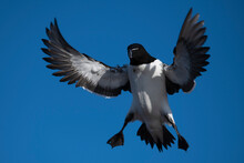 Black And White Bird In A Blue Sky