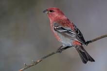 Red Bird On A Tree Branch
