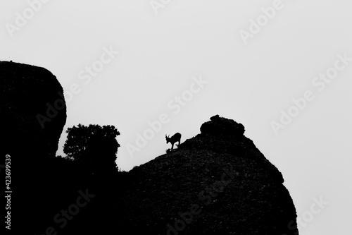 Mountain goat in Montserrat mountain, Barcelona, Spain Wallpaper Mural