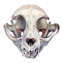 Watercolor Illustration Of Cat Skull Isolated On White Background.