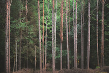 Dark Woodland Forest With Tall Skinny Trees Lined Up In A Row, At Glencoe Lochan Nature Walk.