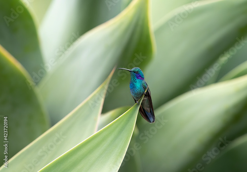 Fototapeta premium Green Violet-ear hummingbird (Colibri thalassinus) perched on tip of a plant in Costa Rica