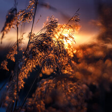 Reed In The Rays Of A Golden Sunset As Background