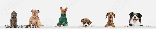 Fototapeta Cute doggies or pets looking happy isolated on white background. Studio photoshots. Creative collage of different breeds of dogs. Flyer for your ad. obraz