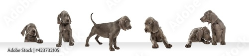 Fototapeta Young dog posing. Cute puppy or pet posing happy isolated on white studio background. Studio photoshots. Creative collage of different breeds of dogs. Flyer for your ad. obraz