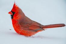 A Male Northern Cardinal (Cardinalis Cardinalis) On The Ground With Snow.