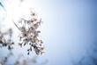 canvas print picture - 파란하늘과 봄 그리고 벚꽃