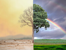 Change Tree Forest Drought And Forest Refreshing. Ecology Concept Half Alive And Half Dead Tree Standing At The Crossroads. Save The Environment.