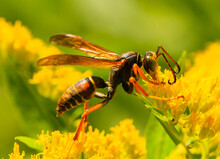 Paper Wasp On Goldenrod-Polistes Fuscastus