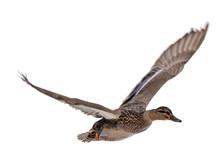 Mallard Brown Female Duck In Flight On White