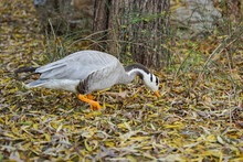 Bar-headed Goose Foraging On The Ground