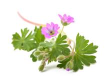 Dovesfoot Geranium Plant