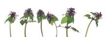 Set Blooming Dead Nettles With Purple Flowers, Red Dead-nettle, Purple Dead-nettle, (Lamium Purpureum) Isolated On White