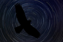 Hawk At Night With Startrail In The Background