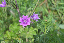 Common Mallow Flower Close Up.