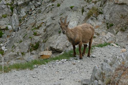 Tablou Canvas Female Alpine Ibex (Capra ibex) in French Alps (France)