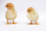 Fototapeta Zwierzęta - dwa malutkie świeżo wyklute pisklaki