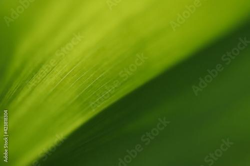 Fototapeta zielony liść konwalii w wiosennym ogrodzie obraz