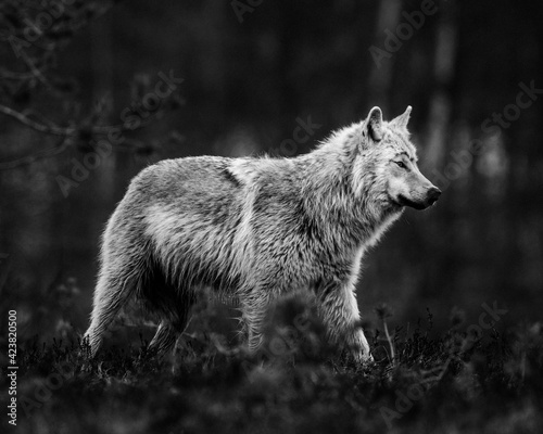Fototapeta a black and white photograph of a wild wolf in finland after sunset