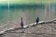 A Couple Of Great Cormorants Are Resting On A Tree. Waterfowl Bird By The Lake.